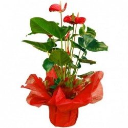 Anthurium con Macetero